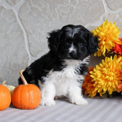 Eddie - F1 Cavachon puppy for sale in Gordonville, Pennsylvania