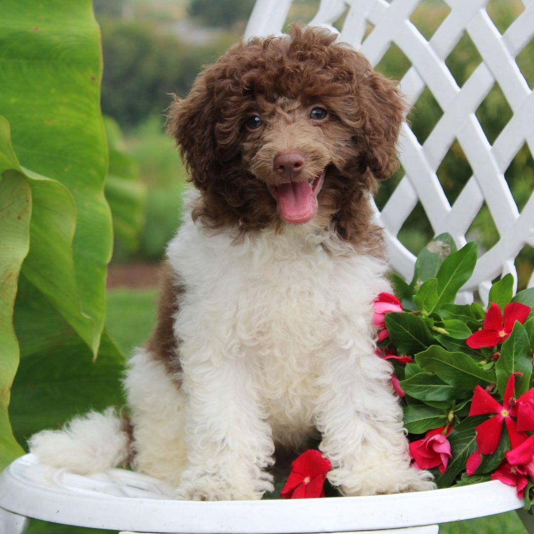 Eli - Mini Poodle pup for sale in Gordonville, Pennsylvania