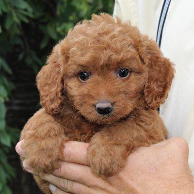 Ellie - Mini Goldendoodle pupper for sale at Leola, Pennsylvania