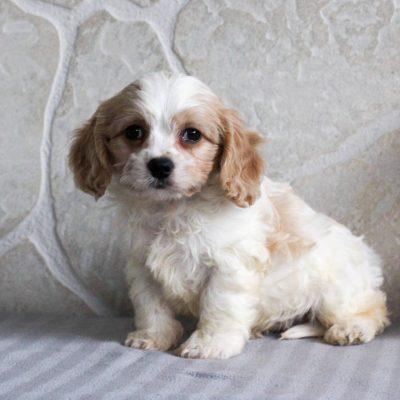Elsa - F1 Cavachon puppie for sale at Gordonville, Pennsylvania