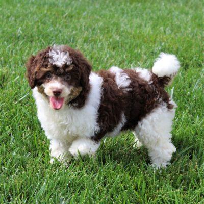 Esther- Mini Poodle doggie for sale at Gordonville, Pennsylvania