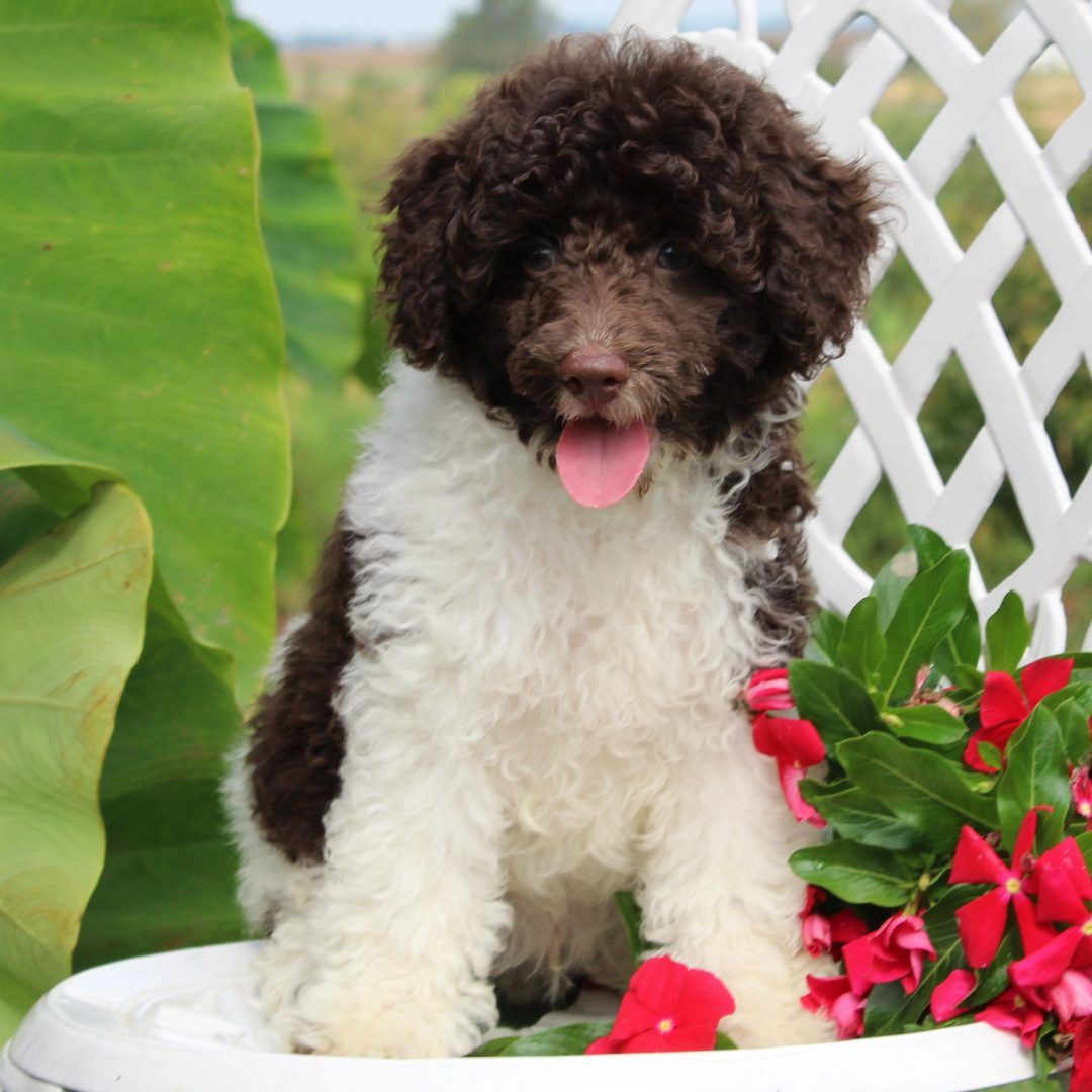 Evan- male Mini Poodle puppy for sale near Gordonville, Pennsylvania