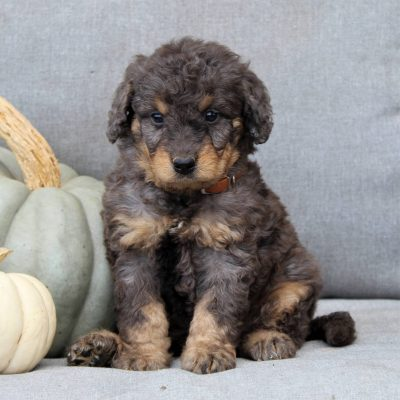 Faith - F1b Mini Bernedoodle puppy for sale in Gap, Pennsylvania