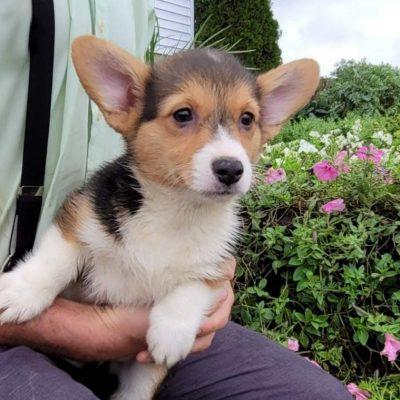 Faith - female APRI Pembroke Welsh Corgi doggie for sale near Newaygo, Michigan