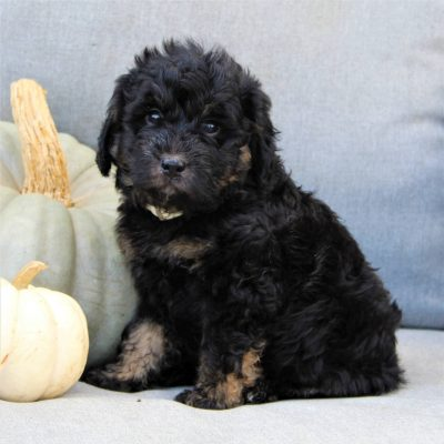 Fanny - F1b Mini Bernedoodle doggie for sale near Gap, Pennsylvania