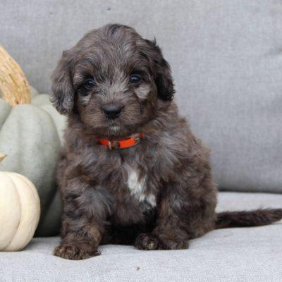 Fluffy - F1b Mini Bernedoodle pup for sale at Gap, Pennsylvania