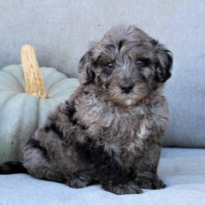 Foxy - F1b Mini Bernedoodle pupper for sale near Gap, Pennsylvania