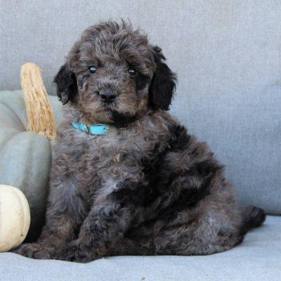 Freddy - male F1b Mini Bernedoodle puppie for sale in Gap, Pennsylvania