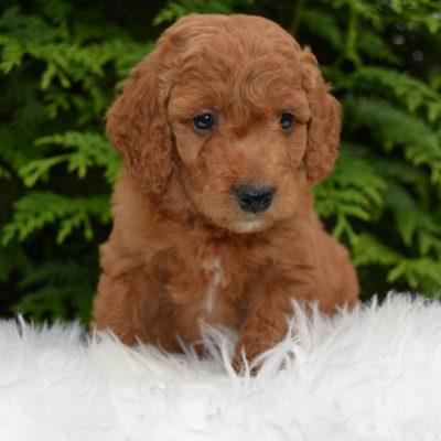 Garfield - F1bb Mini Goldendoodle doggie for sale in Paradise, Pennsylvania