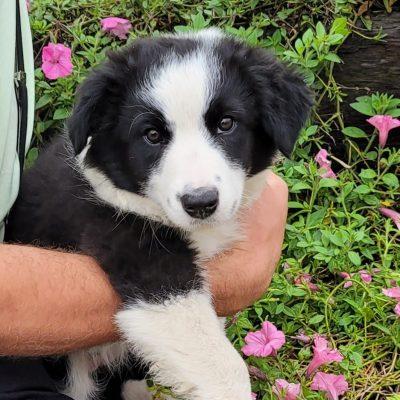 Gigi - Border Collie pupper for sale in Newaygo, Michigan