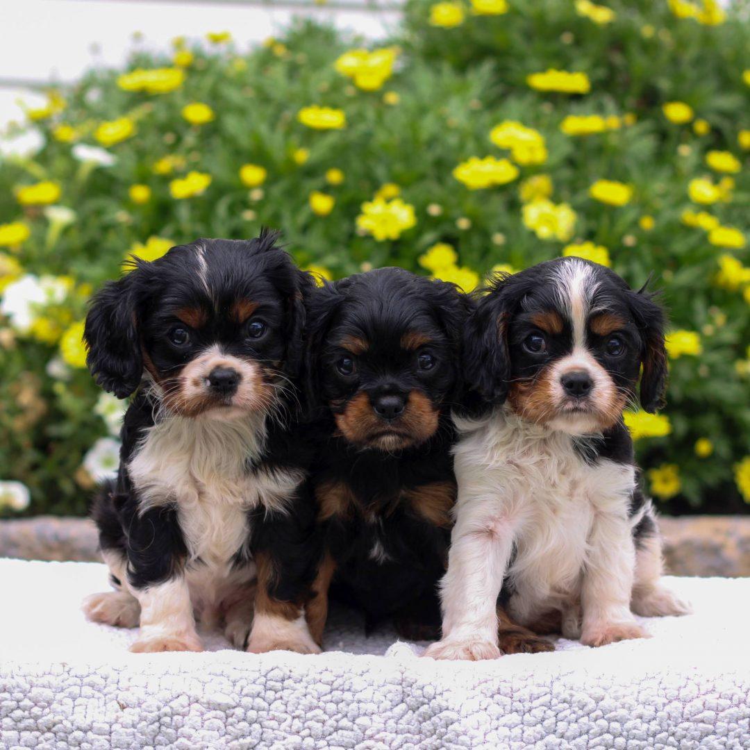 Ricky - Cavalier King Charles Spaniel puppie for sale at Narvon, Pennsylvania