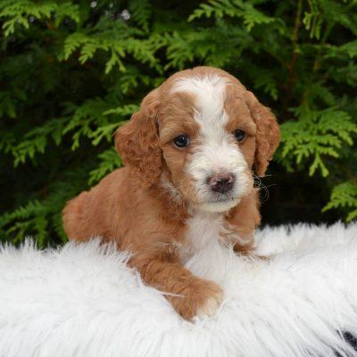 Gussie - F1bb Mini Goldendoodle
