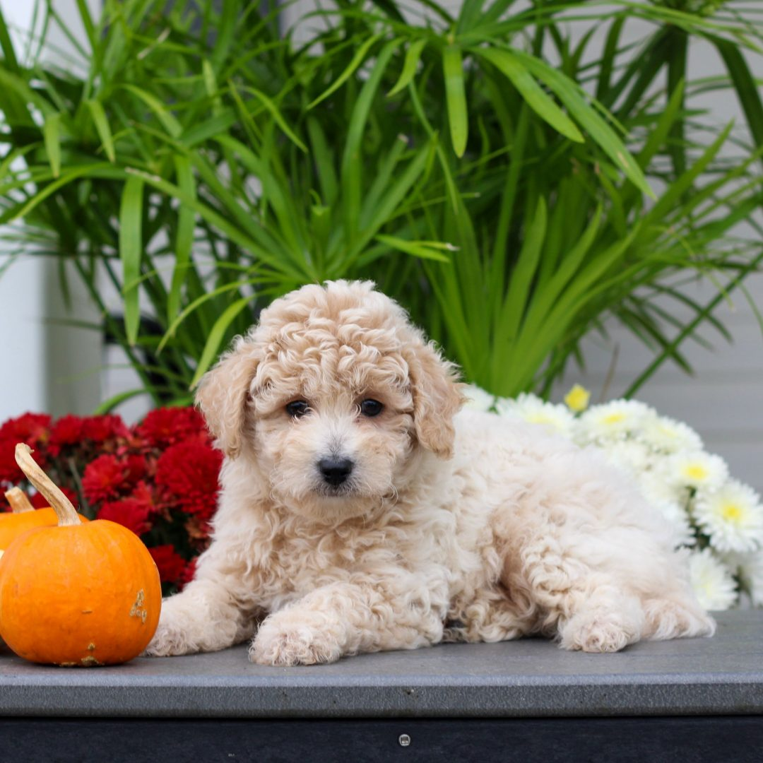 Hallie - F1 Cavachon puppie for sale at Gordonville, Pennsylvania