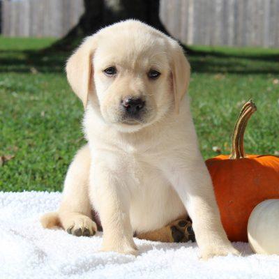 Happy - male ACA Labrador retriever pup for sale in Gap, Pennsylvania