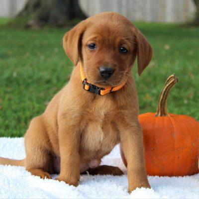 Hazel - pup ACA Labrador retriever for sale in Gap, Pennsylvania