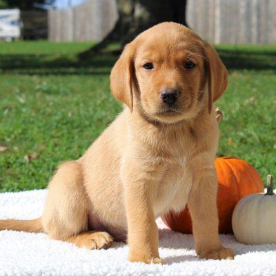 Henry- ACA Labrador retriever puppie for sale near Gap, Pennsylvania