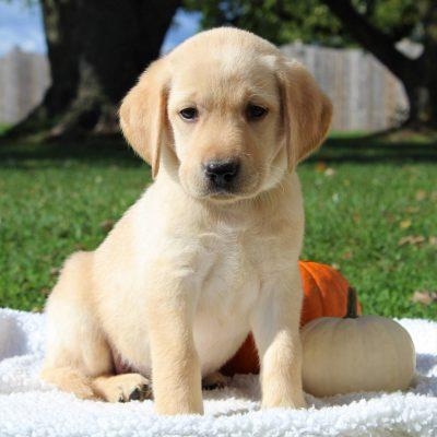 Hobbo- ACA Labrador retriever doggie for sale in Gap, Pennsylvania