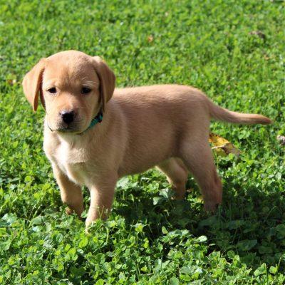 Honey - ACA Labrador retriever doggie for sale near Gap, Pennsylvania