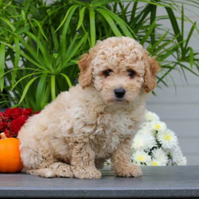 Honey - F1 Cavachon pup for sale near Gordonville, Pennsylvania