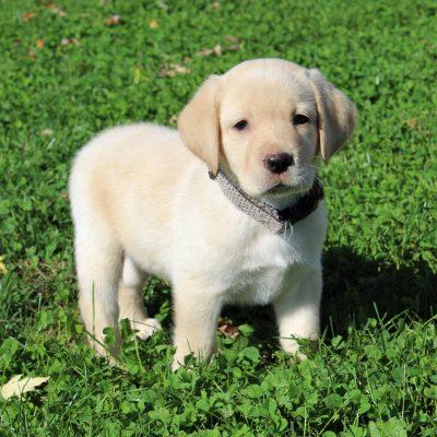 Hot Shot - ACA Labrador retriever puppy for sale at Gap, Pennsylvania