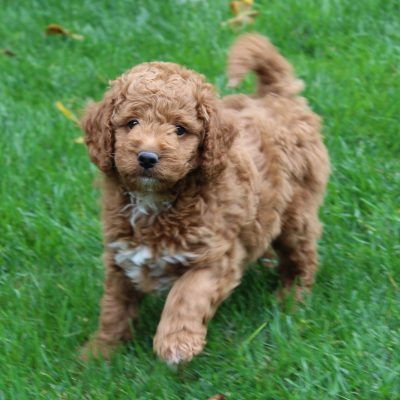 Evan - Mini Goldendoodle pupper for sale at Leola, Pennsylvania