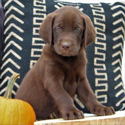 Jojo- Labrador Retriever puppy for sale at Ephrata, Pennsylvania