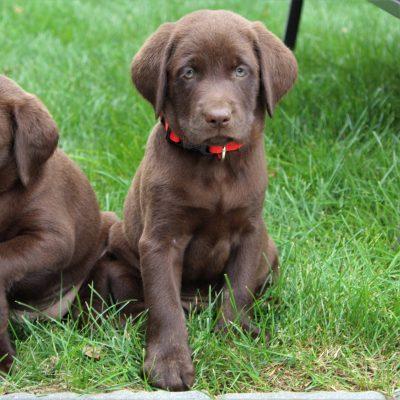 Joseph- Labrador Retriever male doggie for sale in Ephrata, Pennsylvania