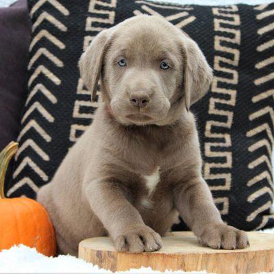 Jude - male Labrador Retriever pupper for sale in Ephrata, Pennsylvania