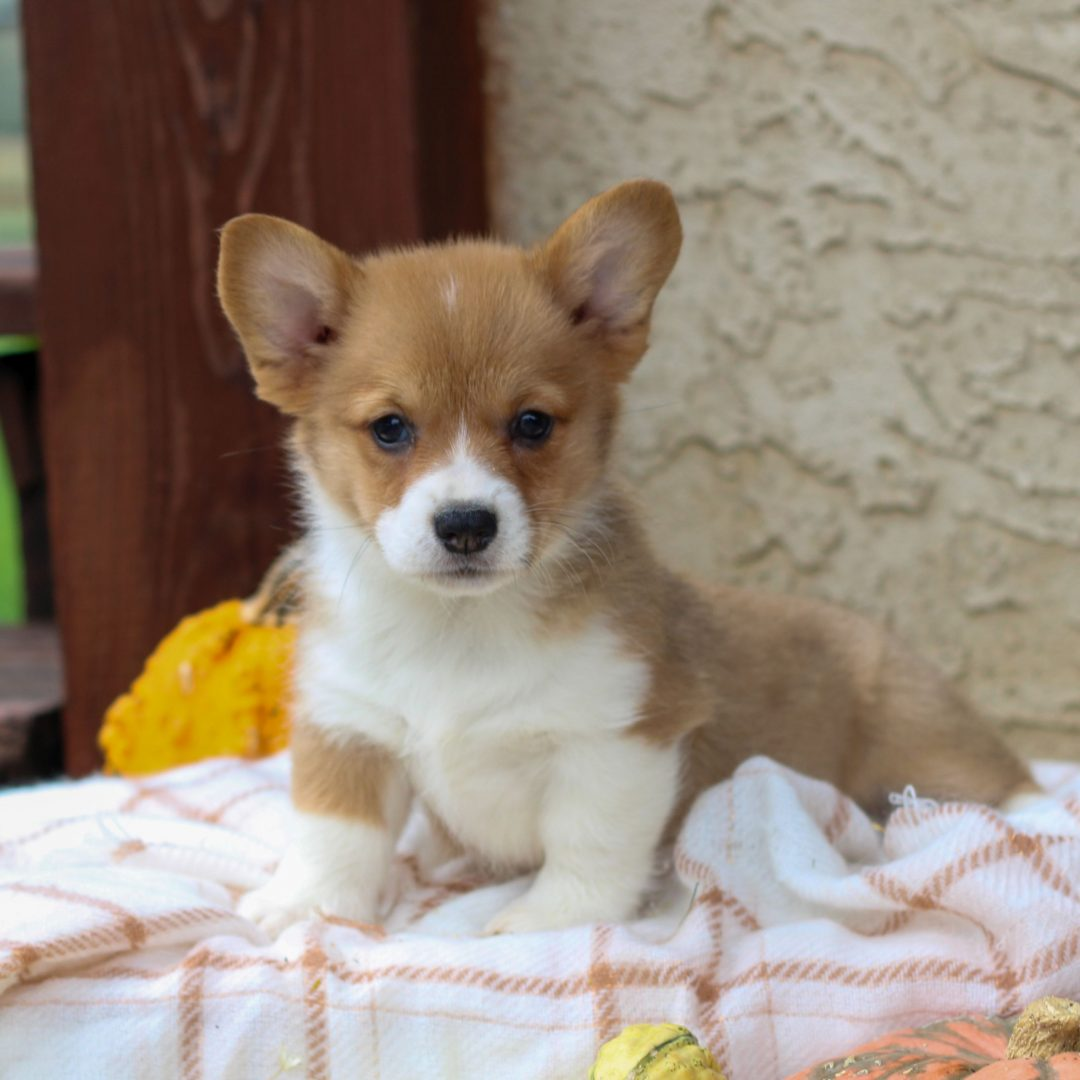 Kane - AKC Corgi pup for sale in Honey Brook, Pennsylvania