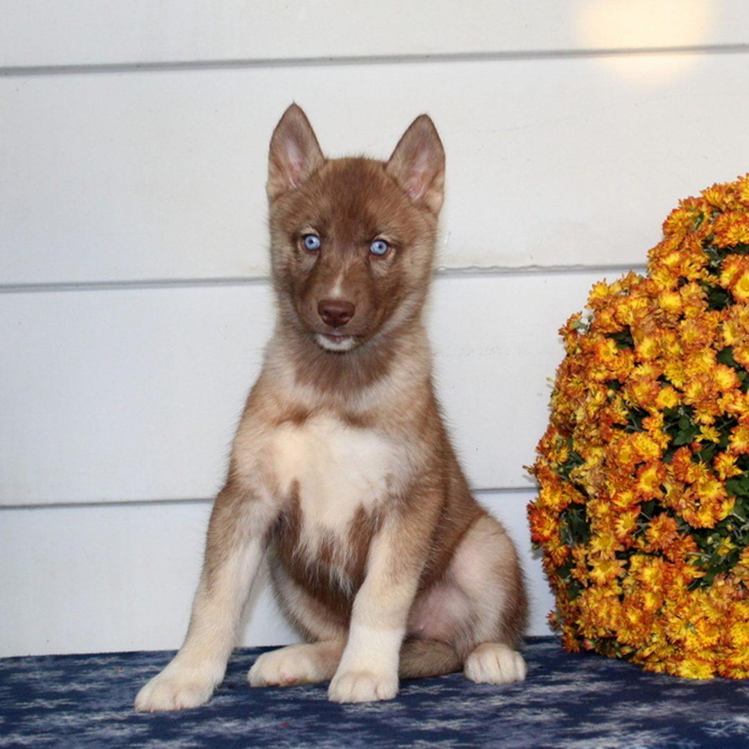 Kelsey - AKC Siberian Husky puppie for sale near Kirkwood, Pennsylvania