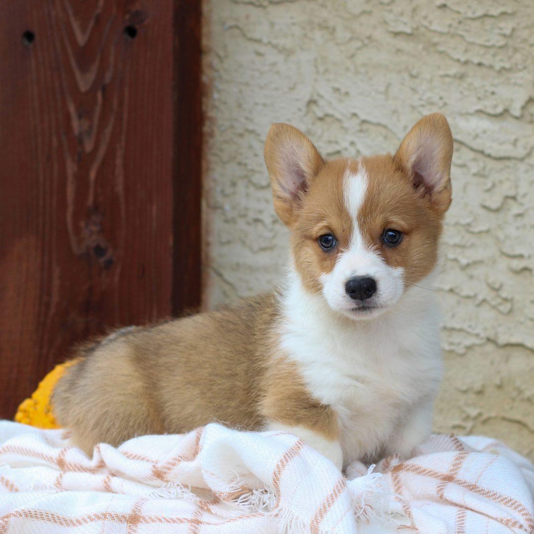 Kobe- AKC Corgi puppy for sale in Honey Brook, Pennsylvania