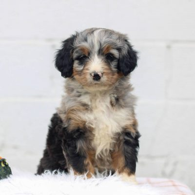 Lacey - F1 Mini Bernedoodle puppy for sale in Honey Brook, Pennsylvania