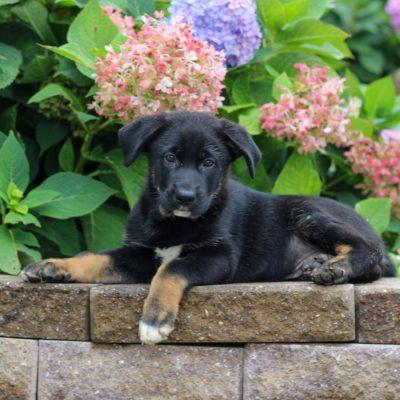 Lawson- German Shepherd Mix puppy for sale near Honey Brook, Pennsylvania