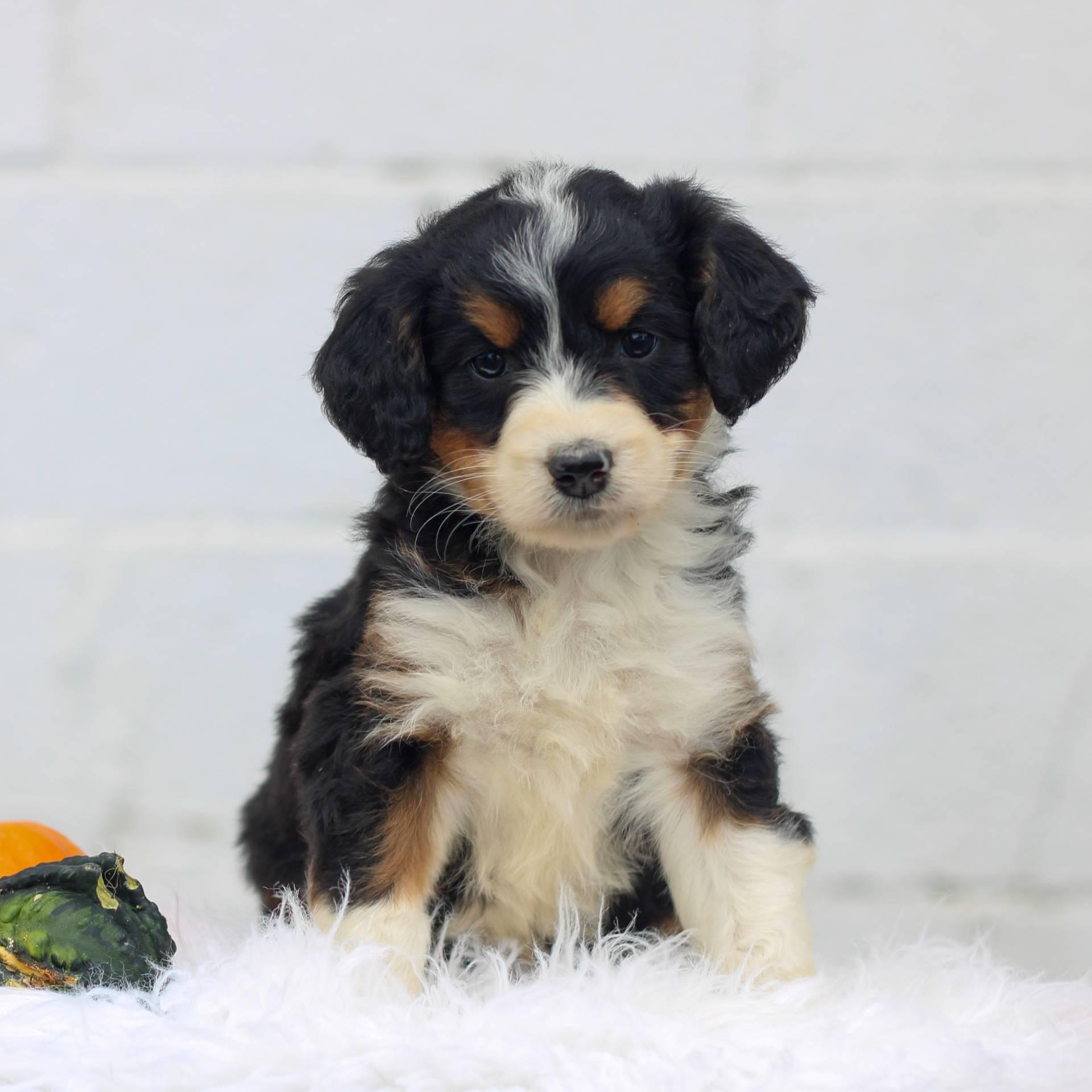 Lilac - F1 Mini Bernedoodle pup for sale at Honey Brook, Pennsylvania