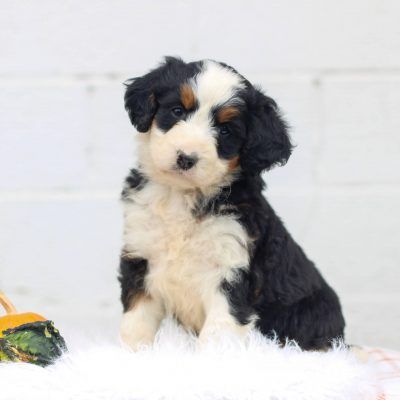 London - F1 Mini Bernedoodle doggie for sale near Honey Brook, Pennsylvania