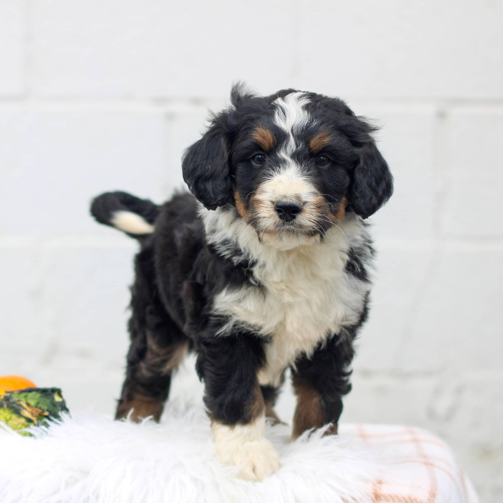 Louie - male F1 Mini Bernedoodle puppie for sale in Honey Brook, Pennsylvania
