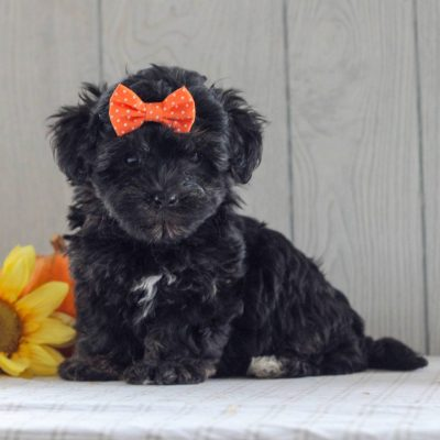 Maggie - F1 Yorkipoo pupper for sale in Gordonville, Pennsylvania