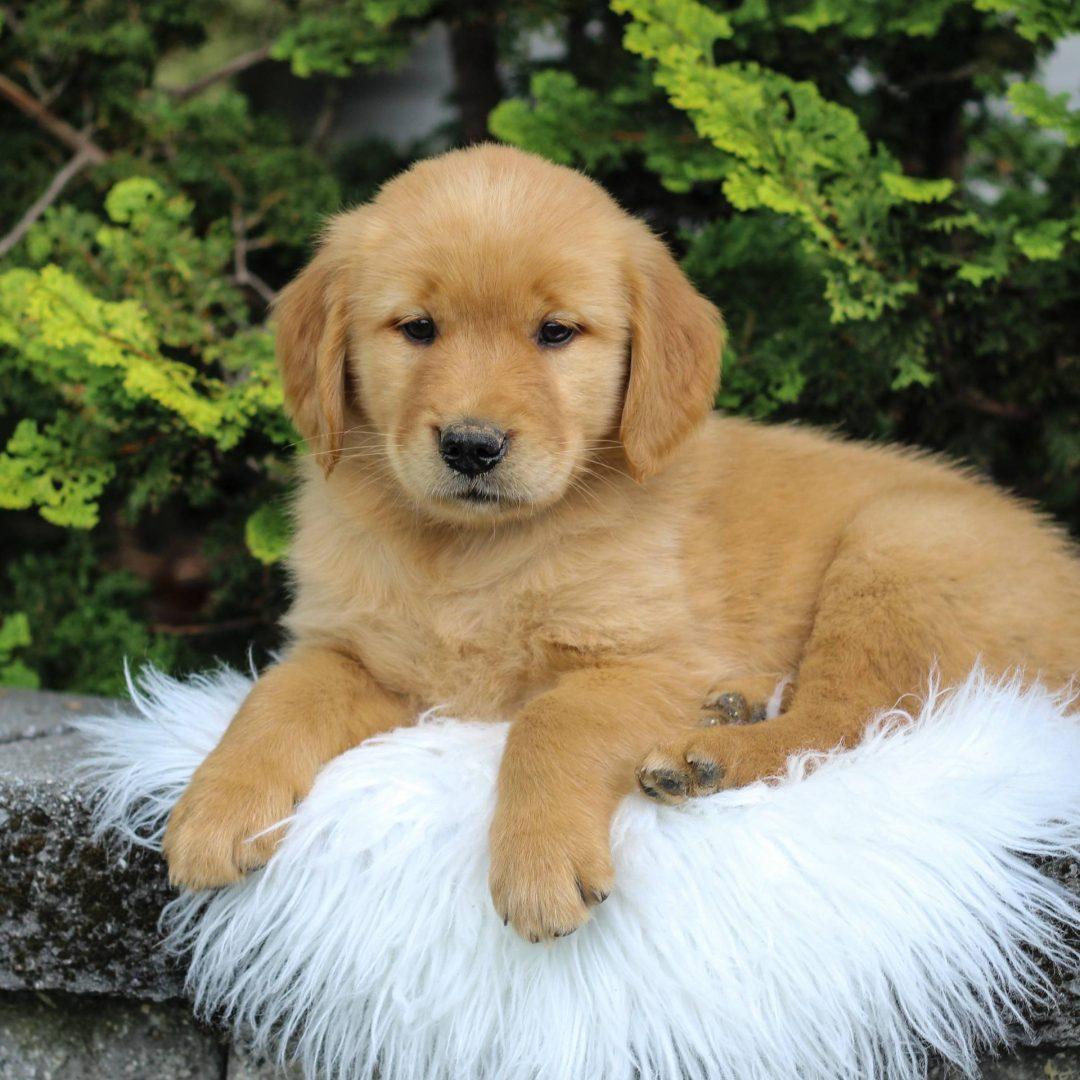 Mandy - Golden Retriever pup for sale at Narvon, Pennsylvania
