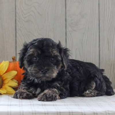 Matt - F1 Yorkipoo doggie for sale near Gordonville, Pennsylvania