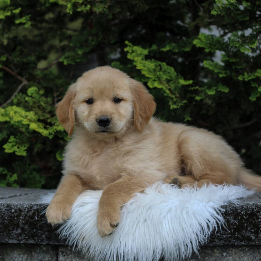 Max - Golden Retriever puppy for sale at Narvon, Pennsylvania
