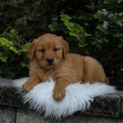 Megan - Golden Retriever doggie for sale in Narvon, Pennsylvania