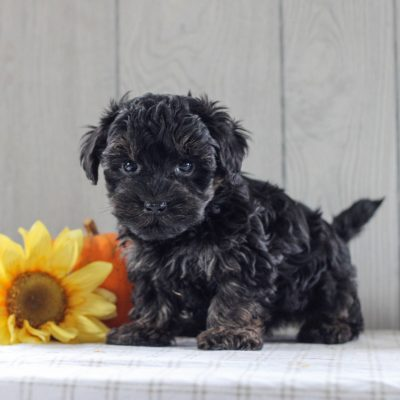 Miles - F1 Yorkipoo puppie for sale at Gordonville, Pennsylvania