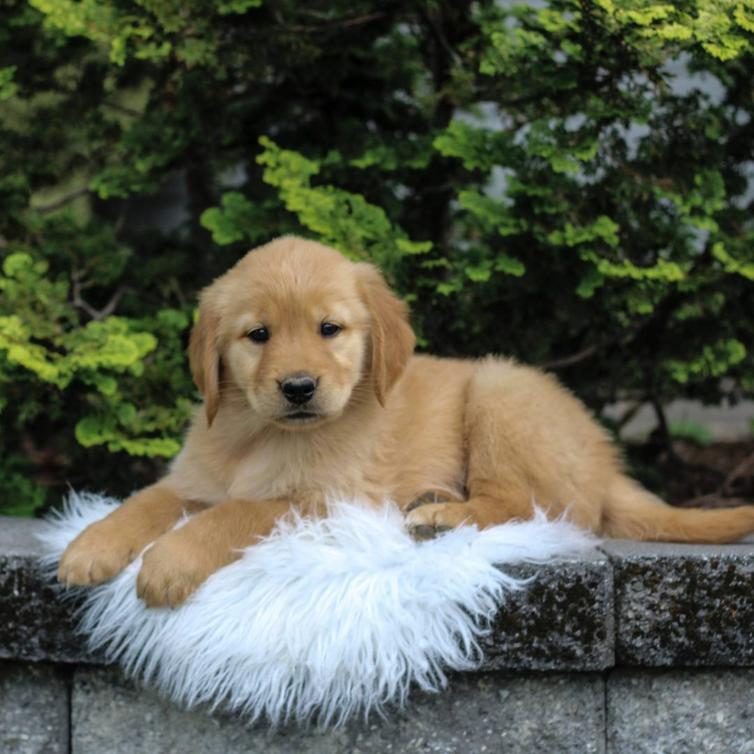 Missy - Golden Retriever puppie for sale near Narvon, Pennsylvania