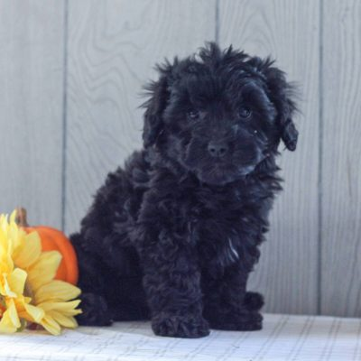Nick - Cavachon-Poodle