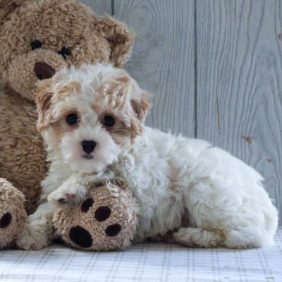 Nina - Cavachon-Poodle