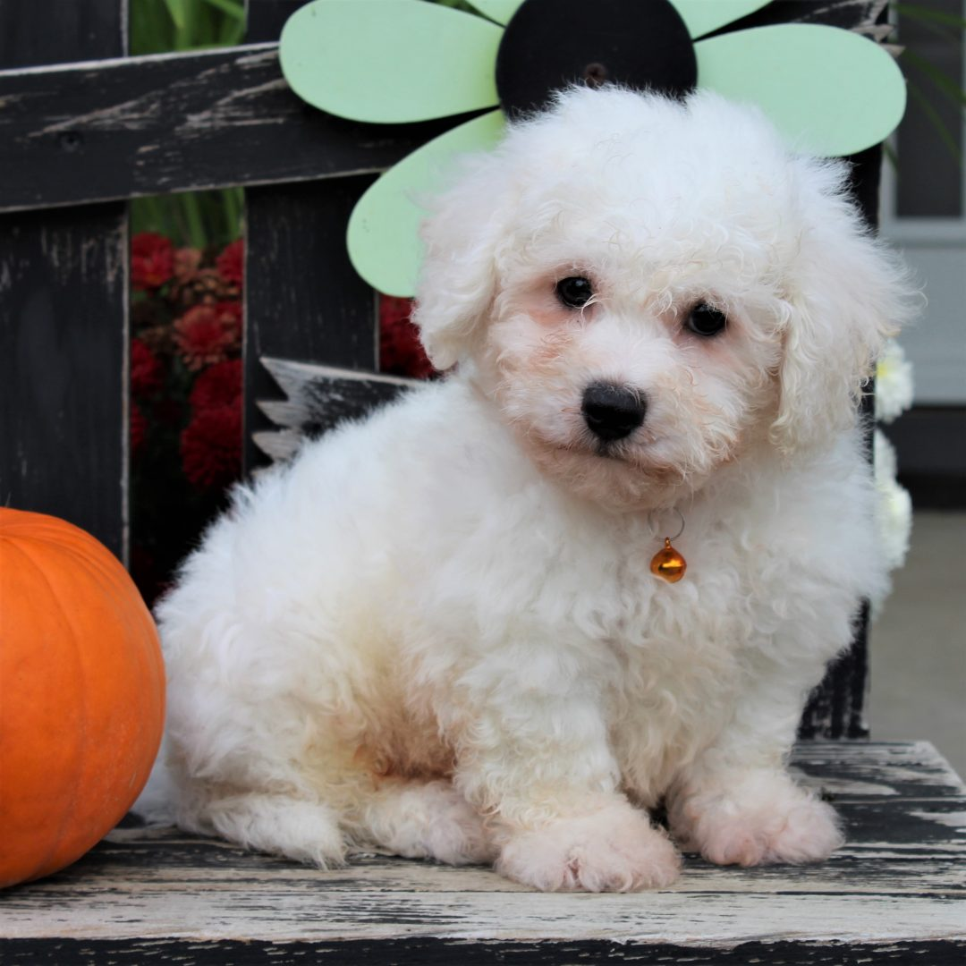 Nolan- Bichon Frise male doggie for sale near Gordonville, Pennsylvania