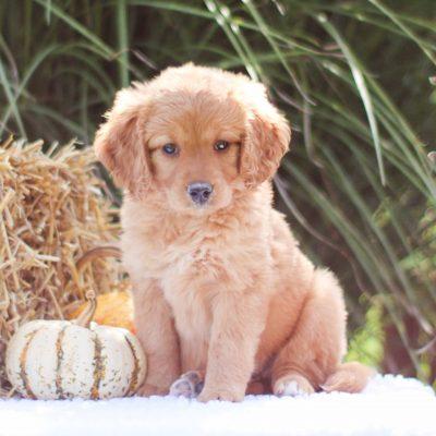Oakley - Mini Goldendoodle female puppie for sale at Lititz, Pennsylvania