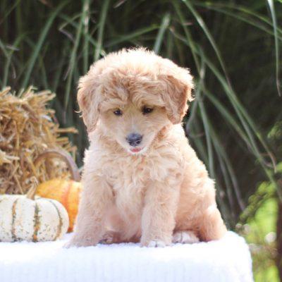 Odie - Mini Goldendoodle female puppie for sale at Lititz, Pennsylvania