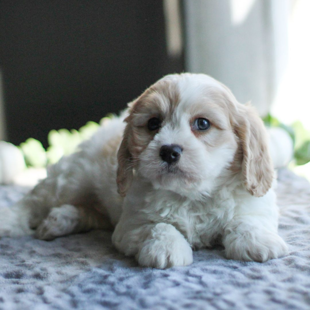 Oscar - F1 Cavachon puppy for sale in Gordonville, Pennsylvania