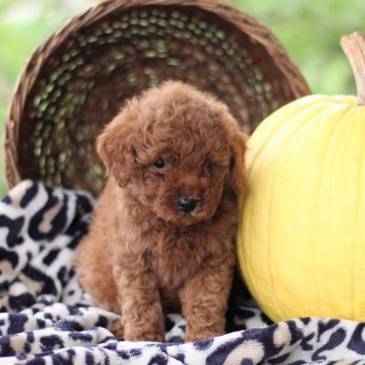 Pete - male f1bb Toy Goldlendoodle pup for sale near Newville, Pennsylvania